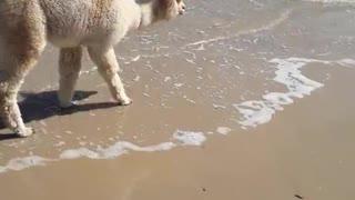 Alpaca Plays at Australian Beach