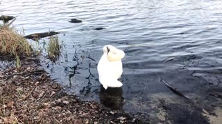 A swan cleaning its feathers