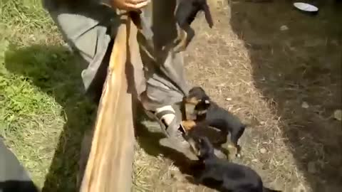 Ruthless Fighting Dog To Death