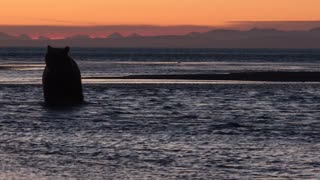 Bears Enjoy Spectacular Sunset Swim