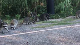 Kind Lady Feeds a Nursery of Raccoons Grapes