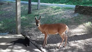 Rescued Fawn Gives Sweet Kisses To a Cat