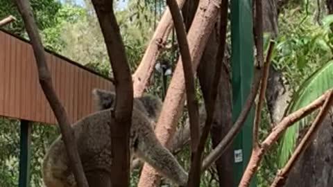 Koala in Currumbin wildlife sanctuary