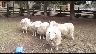 Sheep Entertaining People