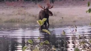 Incredibly Close Moose Encounter