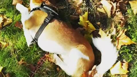 funny dog try not to laugh Jack Russel the funniest dogs