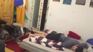 Australian Shepherd helps out owner after a hard day at work