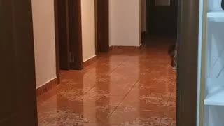 Maine Coon kitty playing fetch