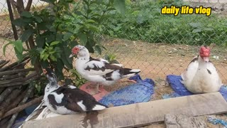 duck couple cuddling each other | daily life vlog