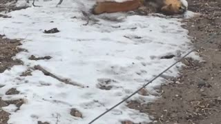 Squirrel Trying to Stop an Aggressive Weasel