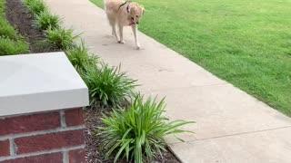 Golden Retriever Takes Herself for A Walk