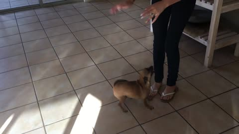 Dog does happy dance when mom arrives home