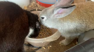 Cat and rabbit friends preciously share meal together