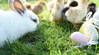 Beautiful rabbits and chicks