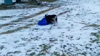 This Australian Shepherd loves to go sledding over and over again