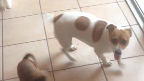 Jack Russell can't wait to see grandparents