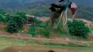 Flying -Peacock
