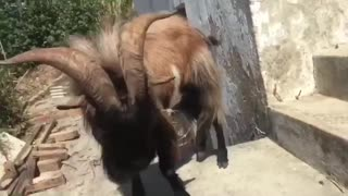 My Goat is going to meet your Girlfriend