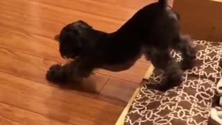 Funny pup performs thorough yoga stretch routine