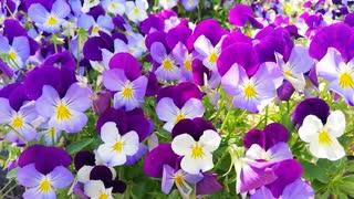 Petals flowers