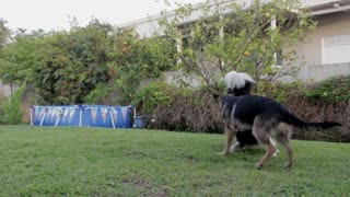 Dogs Playing together1