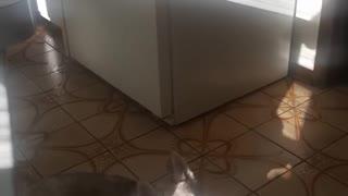 Husky howls along to 'Halloween' theme song