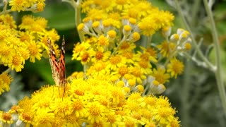 Butterfly on small yellow flowers