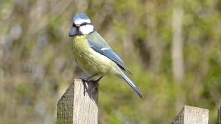 Bird Perform Morning Sounds