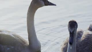 How beautiful a swan bird Glory be to God