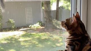 Cat goes crazy when squirrel invades bird feeder