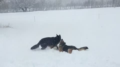 Puppy body slams brother in the snow