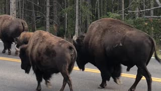 Massive Male Bison Has Been Accepted By His Queen