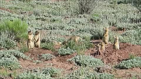 Baby Prairie Dogs - Wrestling..!