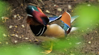 Mandarin duck cleaning his feather