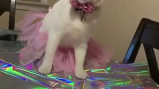 Cat wearing dress | Birthday party outfits