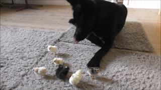 German Shepherd sweetly watches over newborn chicks