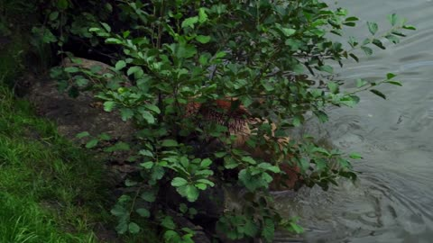 Brown Bear Nature