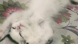 Kitten Sleeping Like A King