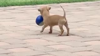 Chihuahua puppy successfully retrieves ball for the first time