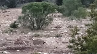 Young Deer Goes to Feed