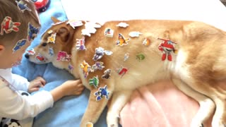 Patient Shiba Inu finds himself covered in stickers from his little buddy