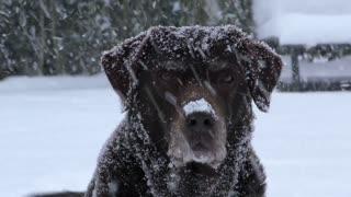 Is a Labrador dog dangerous?