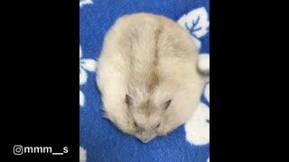 Hamster Enjoys Brushing Session