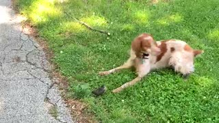 Gentle hunting dog plays with baby bird fallen from nest
