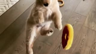 Clumsy puppy fails to catch toy in midair