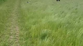 Dog bouncing through fields