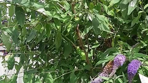 Monarch butterflie filled bush