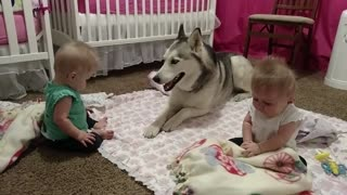 Watch How This Adorable Husky Entertains His Precious Twin Best Friends