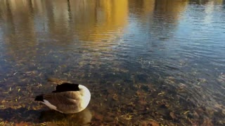 Ducks Getting Washed In Pure Lake Water