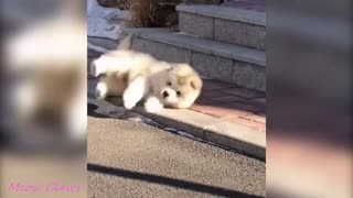 Baby Alaskan Malamute Cutest and Funniest Moments 508